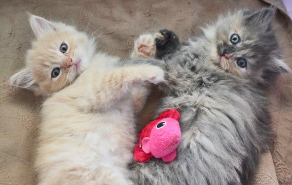 Devenir famille d'accueil chatons et leur maman